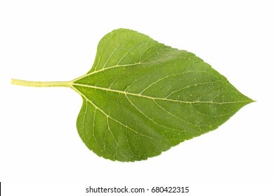 A sunflower leaf on a white background