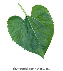 Sunflower leaf in White Background