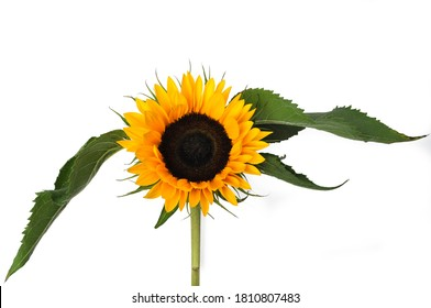 Sunflower with leaves isolated on white