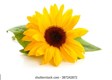 Sunflower  with leaves isolated on white background.