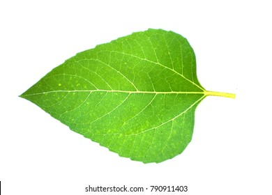 sunflower leaves on a white background