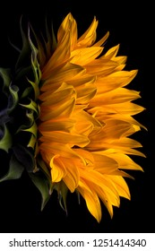 sunflower macro on black