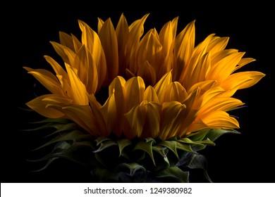 sunflower macro on black background