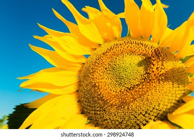 Sunflower, Macro, Single Flower.