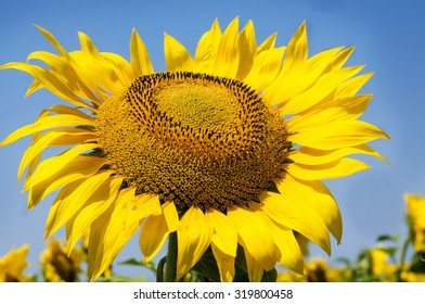Sunflower in the middle of sunflower field. Crimea