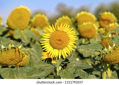 sunflower in the middle of picture