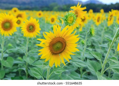 Sunflower at the mountain