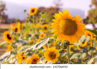 Sunflower natural background. Sunflower blooming. Close-up of sunflower. - Image