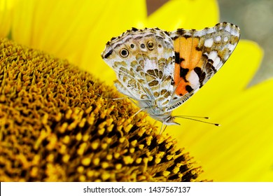 Sunflower natural background with butterfly. Sunflower blooming.