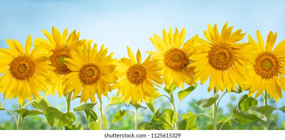 Sunflower natural background.suflower field.