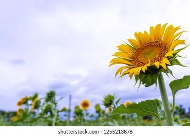 sunflower nature garden