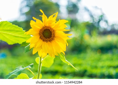 Sunflower with Nature light background.