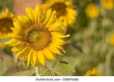 Sunflower Northeast Thailand Southeast Asia