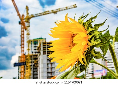 Sunflower on the background of construction and blue sky .