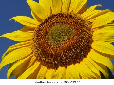 Sunflower on the blue sky