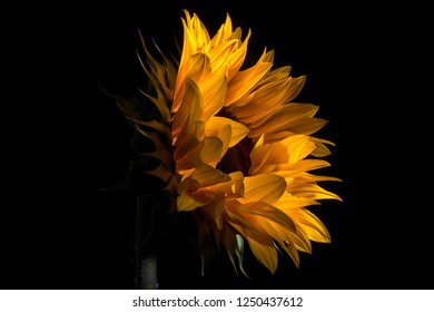 sunflower on dark background