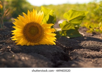 Sunflower on  earth