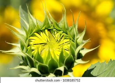 Sunflower on the farm