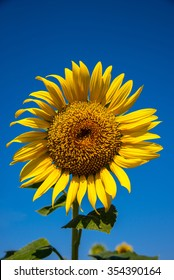 Sunflower on a field with blue sky