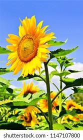 Sunflower on sunflower field. Sunflower close up. Sunflower flower view