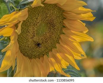 Sunflower on a field of sunflowers near Warsaw