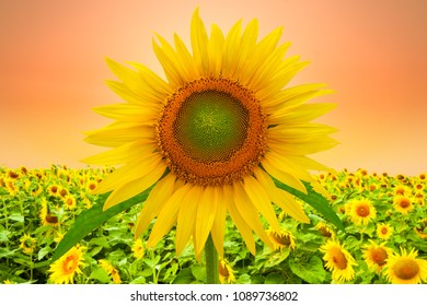 sunflower on field with sunset sky.
