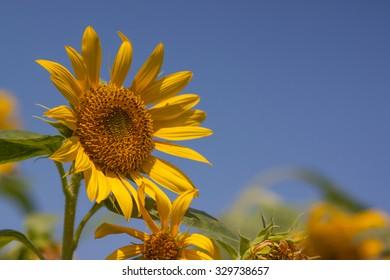Sunflower on outdoor in field blue sky background