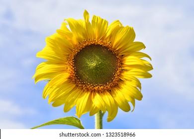 Sunflower on shiny clear sky