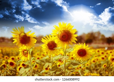 Sunflower on the sky background that changes, adjusts, adjusts the color beautifully. Exotic season
