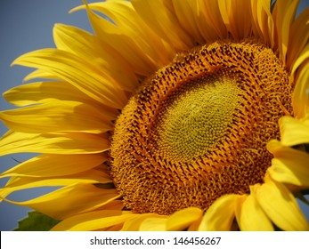 sunflower on a summer day / Sunflower
