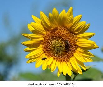 A sunflower on a sunny day.
