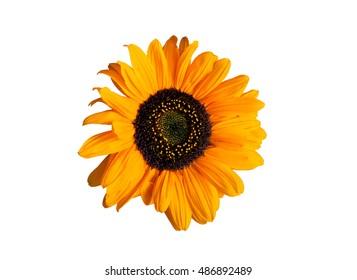 Sunflower on white. Macro image
