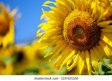 Sunflower outdoor colorful
