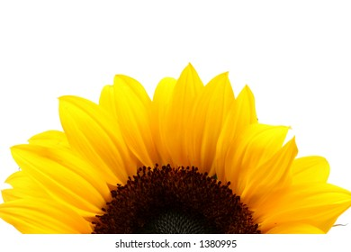 Sunflower over an empty white background ideal for printing on top of it as a sunrise