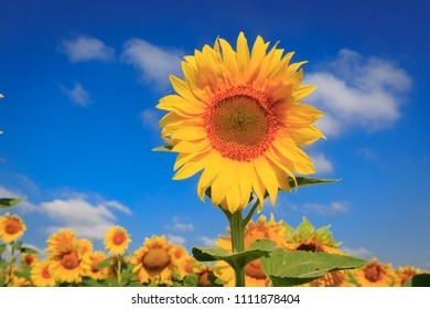 Sunflower over farming field in sunny day