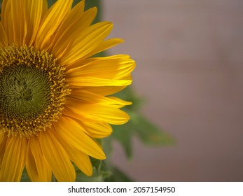 Sunflower petals in full bloom isolated on background close up shot selective focus