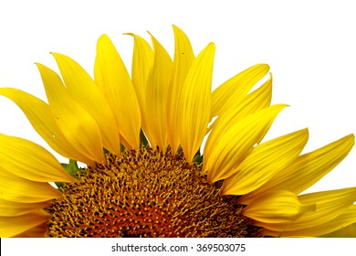 sunflower petals isolated on a white background