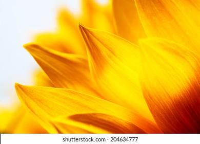 Sunflower petals macro close-up detail  and texture