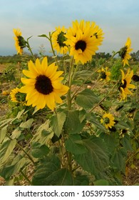 Sunflower plant blossoming