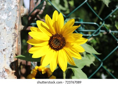 sunflower plant green yellow nature vibrant summer sky blue pollen garden