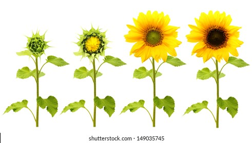 Sunflower plant isolated on white background. Stages of growth.