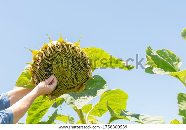sunflower-plant-make-oil-hand-600w-17583