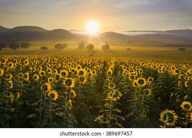 Sunflower plantation at sunrise with gigantic field in Nakhon Ratchasima, Thailand.
