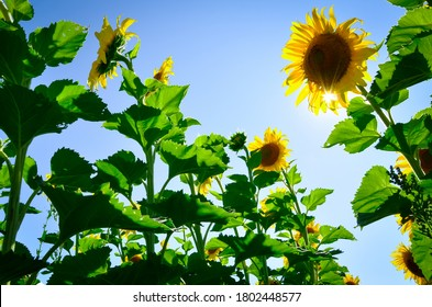 Sunflower plants in a blue sky