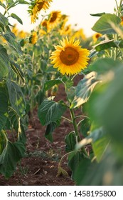 Sunflower portrait at sunset. Composition of nature.