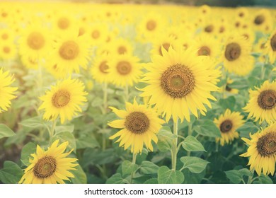 Sunflower, Selective focus, high brightness, low contrast - Organic healthy food production for Health care and agriculture business.