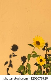 Sunflower and shadow against wall