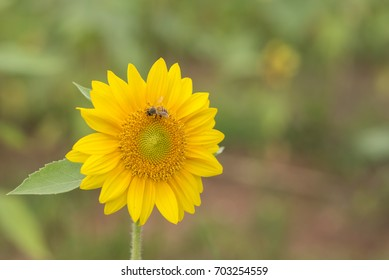 Sunflower with single bee