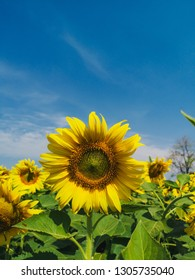 sunflower with the sky