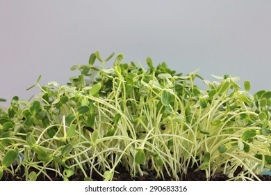 sunflower sprout growing from seeds